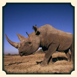 Nosorożec sennik